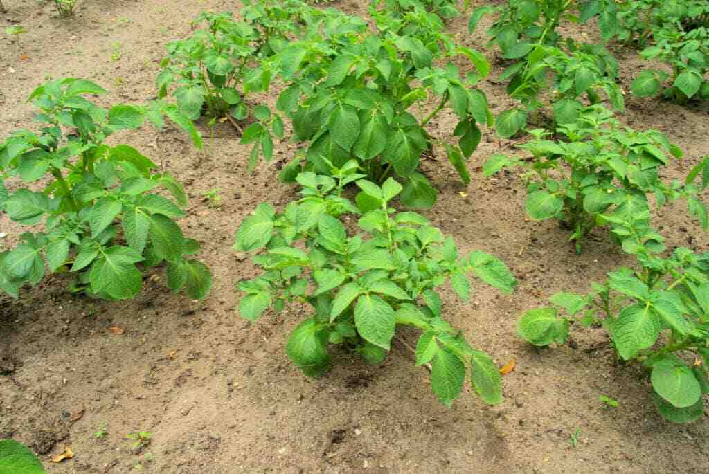 Quelle plantation après les pommes de terre ?