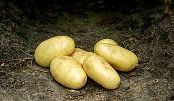 Quelle quantité de pommes de terre pour 12 personnes ?