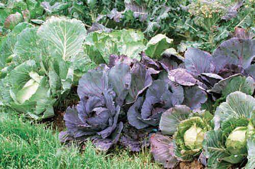 Quelle salade planter au mois d'octobre ?