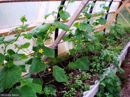 Quelle température pour planter les concombres ?