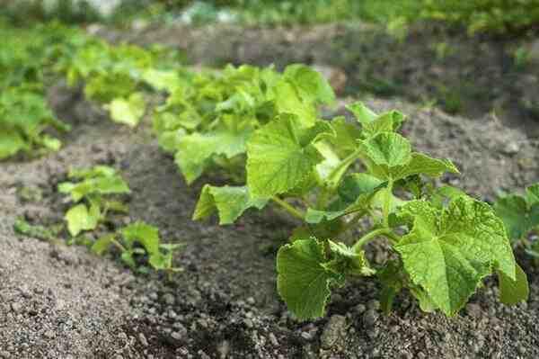Quelles plantes ne pas planter ensemble ?